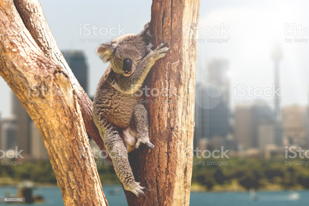Koala resting and sleeping on his tree, Australia stock photo