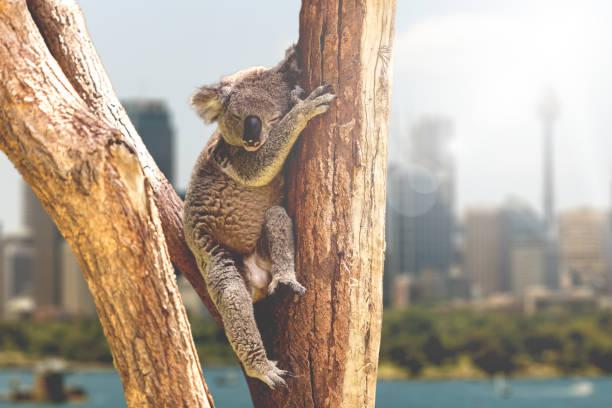 Koala ruhen und schlafen auf seinem Baum, Australien – Foto