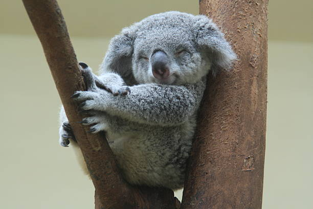 koala se reposer et dormir sur son tree - jeune animal photos et images de collection