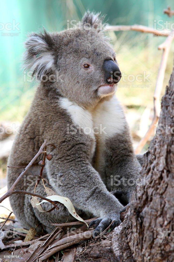 Koala sitting at the bottom of a tree stock photo
