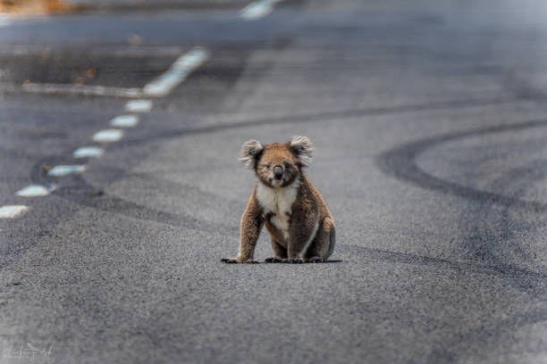 Koala sitting in the middle of the road A Koala sits in the middle of the road surrounded by tyre skid marks koala stock pictures, royalty-free photos & images