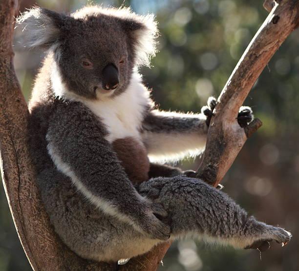 Koala sitting in tree stock photo