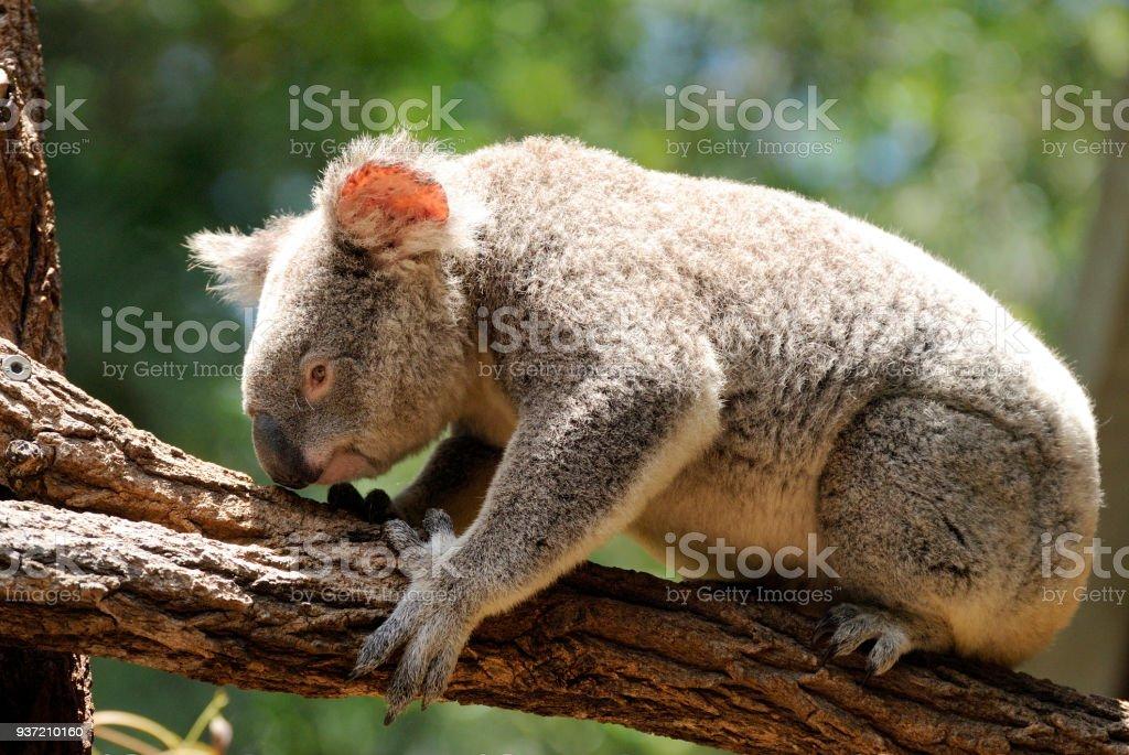 Koala sitting on eucalyptus tree stock photo
