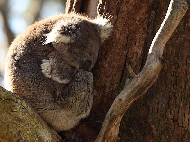 Koala sleeping in a tree stock photo