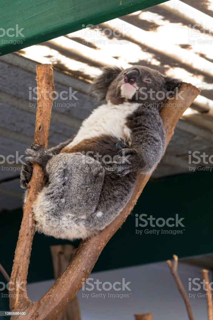 Koala sleeping in a tree with a rustic backround stock photo