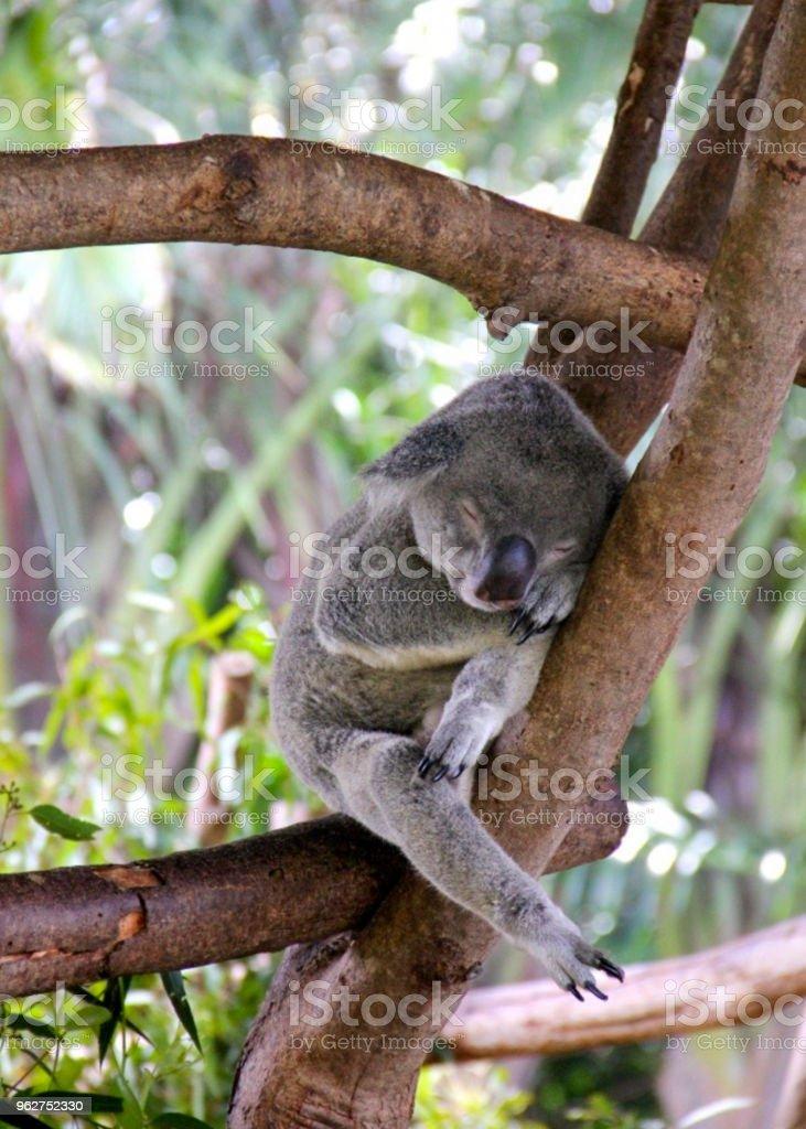 Koala sleeping in the tree - Foto stock royalty-free di Albero