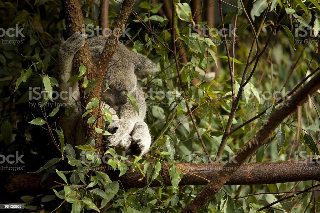 Koala Sleeping in Tree royalty-free stock photo