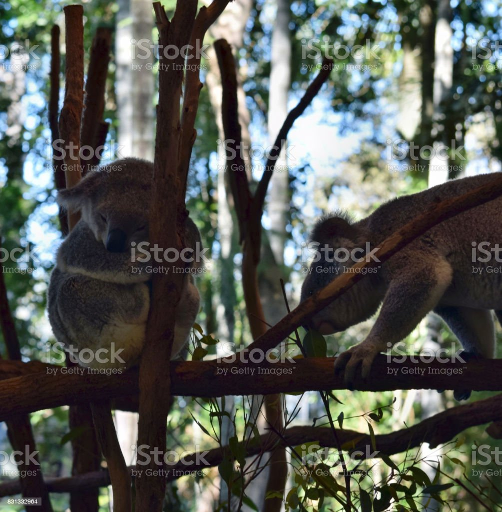Koala sleeping on a tree branch eucalyptus stock photo