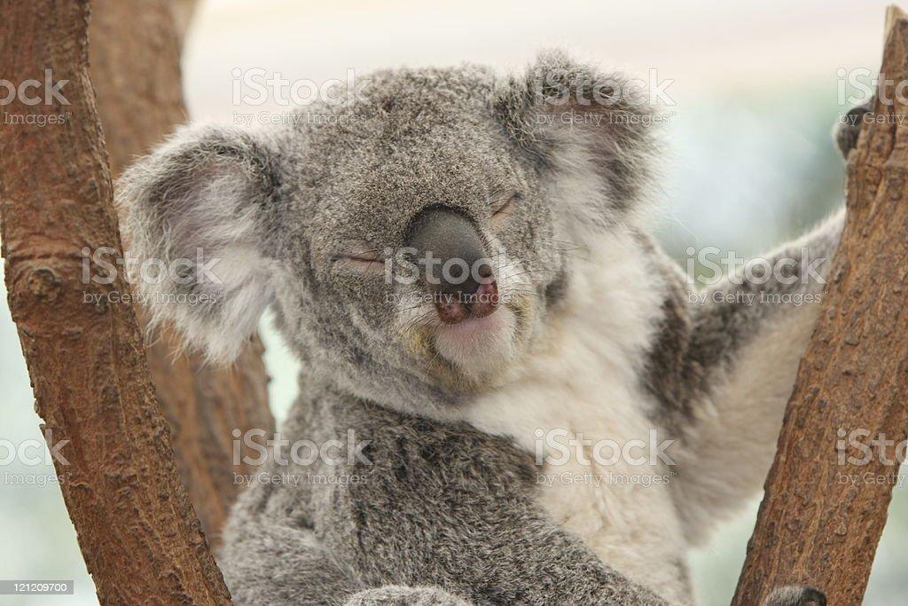 Koala Sleeping royalty-free stock photo