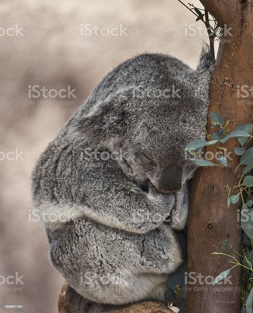 Koala (Phascolarctos cinereus) sleeping royalty-free stock photo