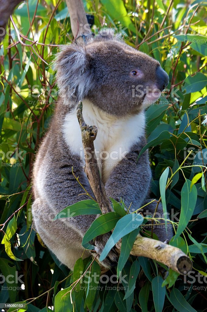 Koala surrounded by Eukalyptus Leaves royalty-free stock photo