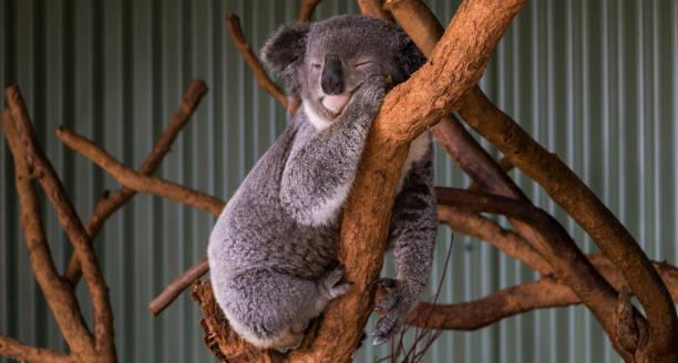 Koala taking a nap stock photo