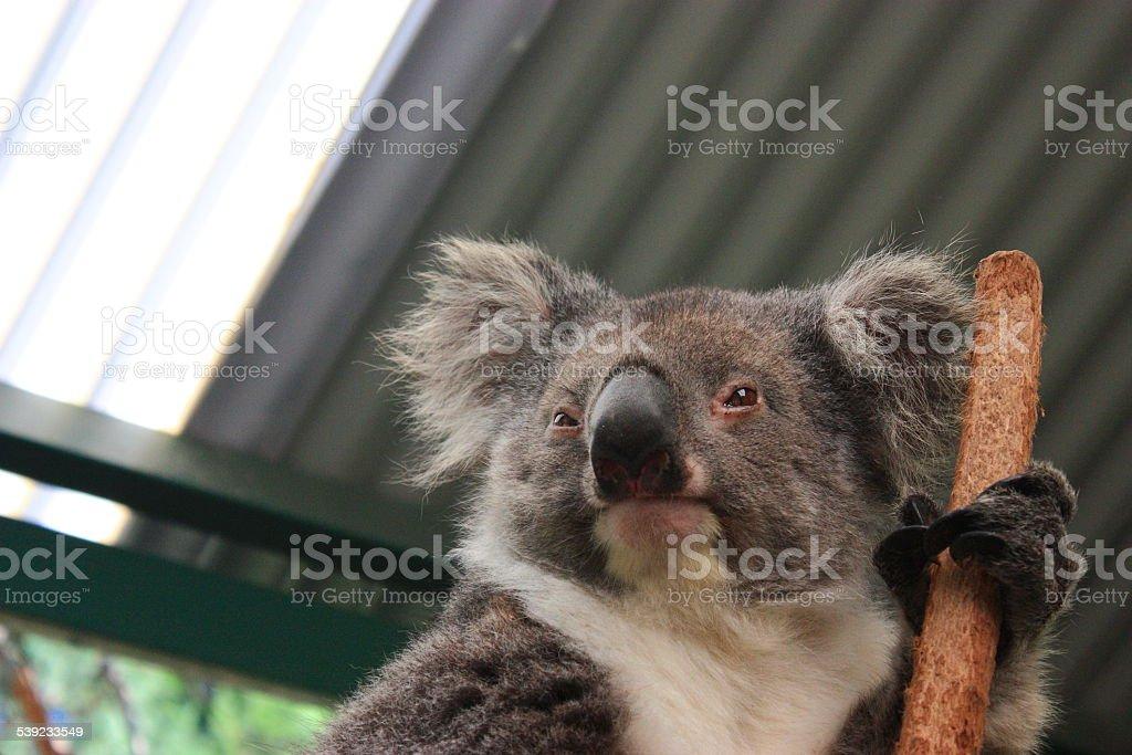 Koala wake up for food. royalty-free stock photo