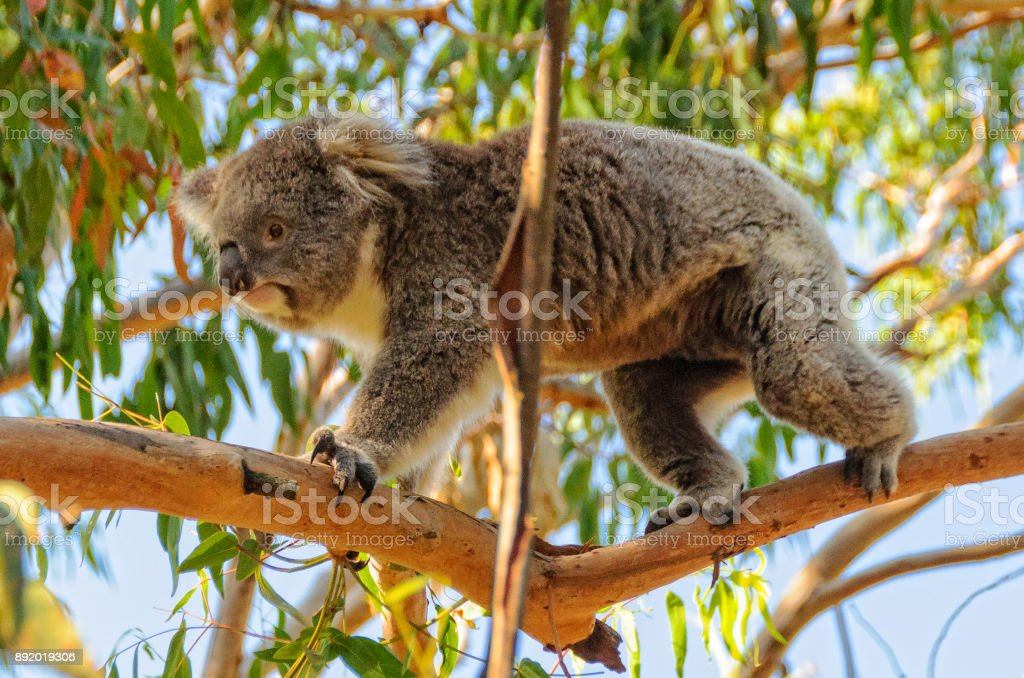 Koala walking on a branch - Cowes stock photo