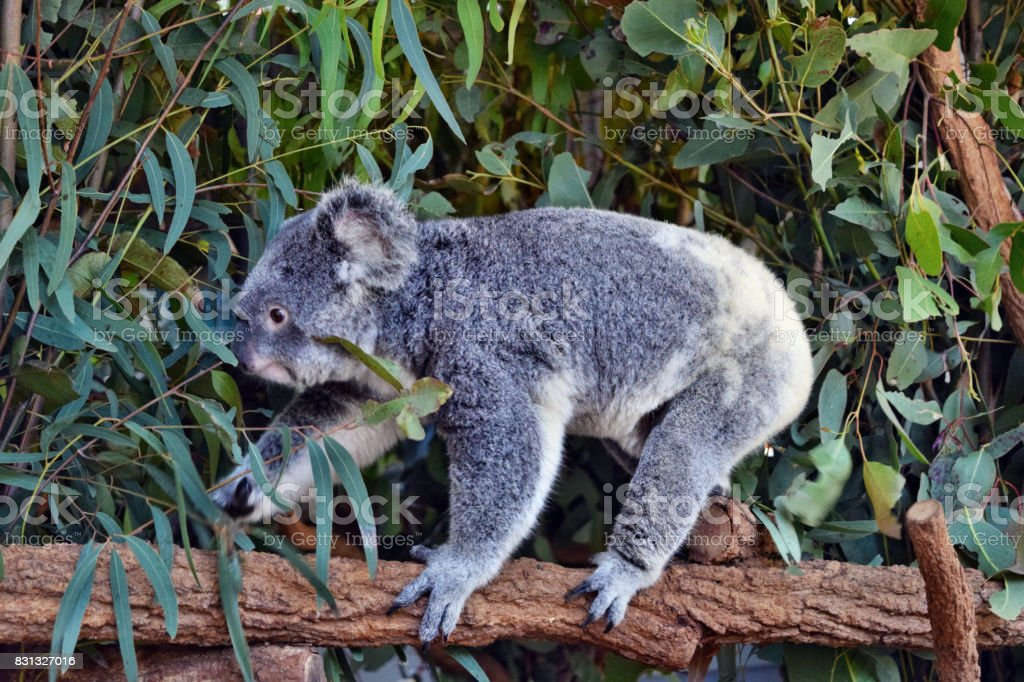 Koala walking on a tree branch eucalyptus stock photo