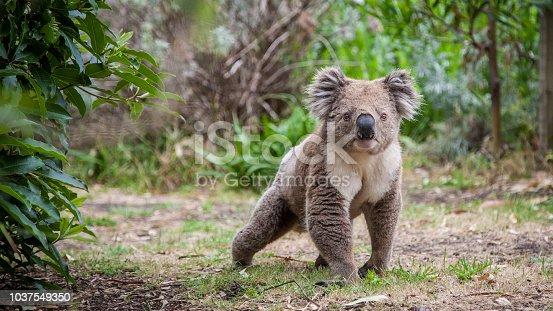 koala walking on land