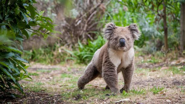 Koala walking koala walking on land koala stock pictures, royalty-free photos & images