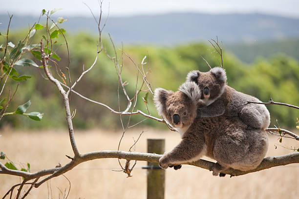 Koala with baby, Hordern Vale, Australia A mother carries her baby on her back.. koala stock pictures, royalty-free photos & images