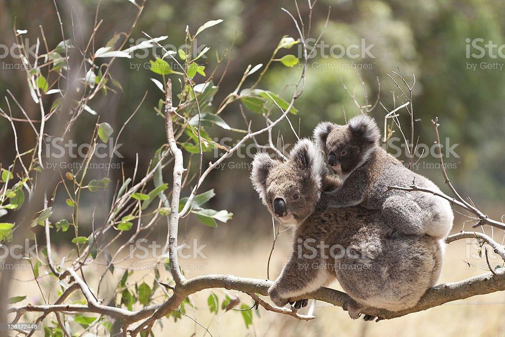 Koala with baby, Hordern Vale, Australia royalty-free stock photo