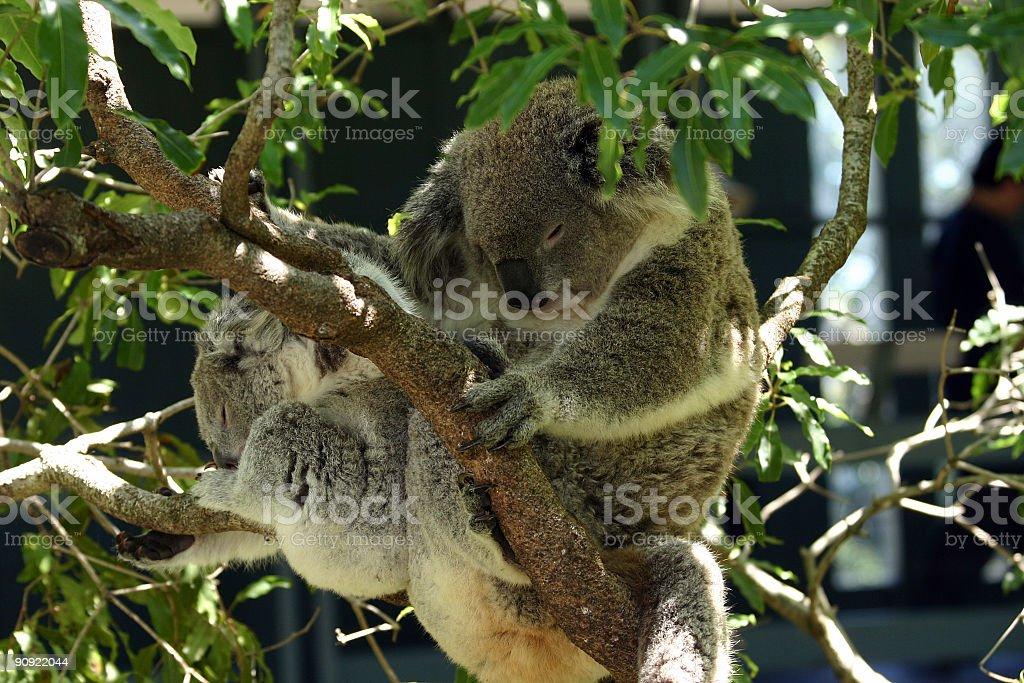 koala with baby royalty-free stock photo