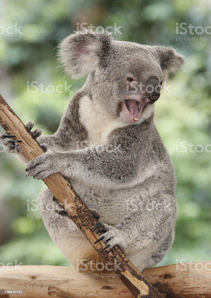 の あくび コアラ