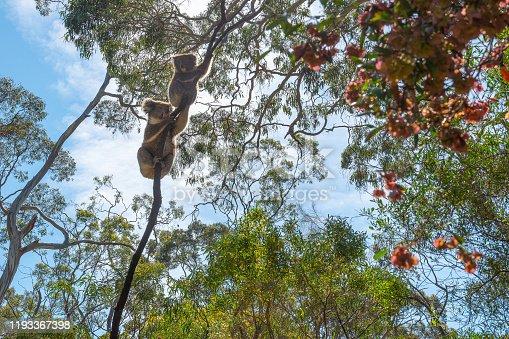 Koalas in the Belair National Park, Adelaide, Australia
