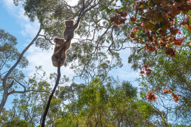 Koalas, Belair National Park, Adelaide, Australia Koalas in the Belair National Park, Adelaide, Australia branch plant part stock pictures, royalty-free photos & images