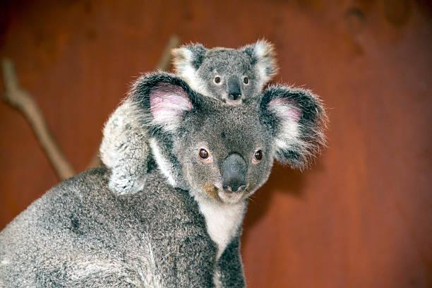 Koalas (Phascolarctos cinereus) in Australia Mother and baby koalas (Phascolarctos cinereus) in Australia koala stock pictures, royalty-free photos & images