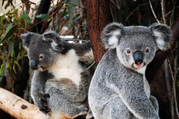 Koalas in Queensland stock photo