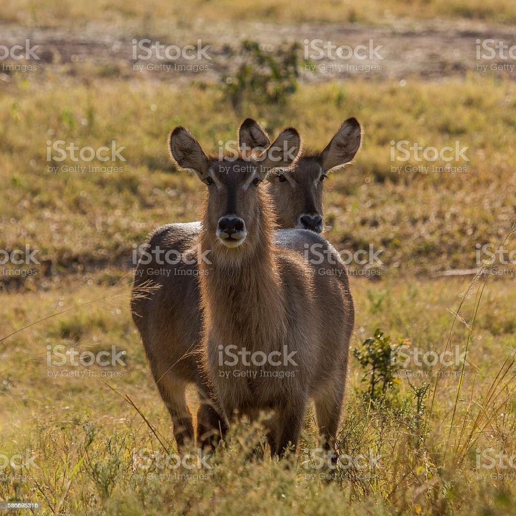 Kobus ellipsiprymnus, two waterbuck in savannah stock photo