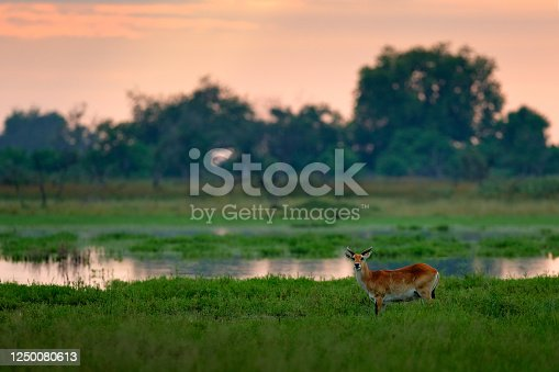 Kobus vardonii, Puku, animal waliking in the water during morning sunrise. Forest mammal in the habitat, Moremi ,Okavango, Botswana. Wildlife scene with deer from African. nature. Rare antelope in the green grass.