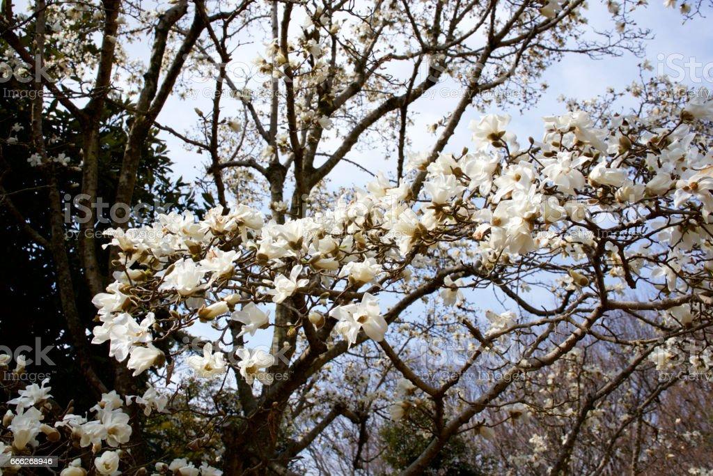 Kobushi magnolia flowers on a sunny day stock photo
