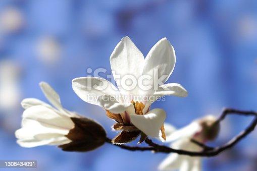 istock Kobushi magnolia 1308434091