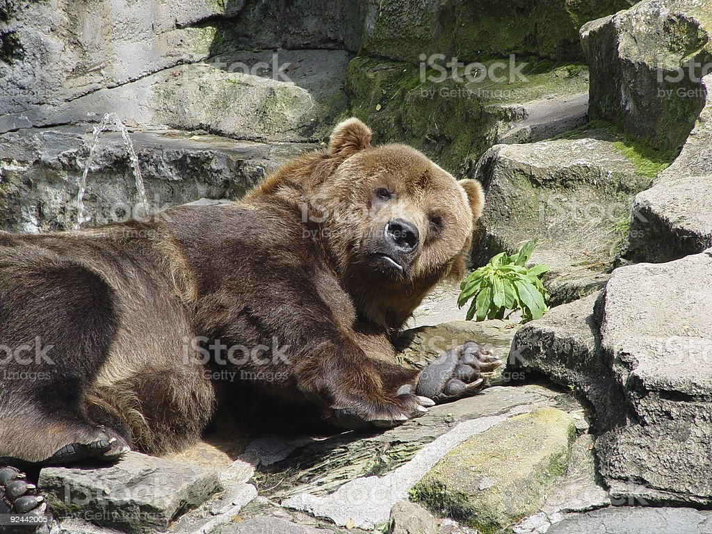 Kodiak Bear royalty-free stock photo