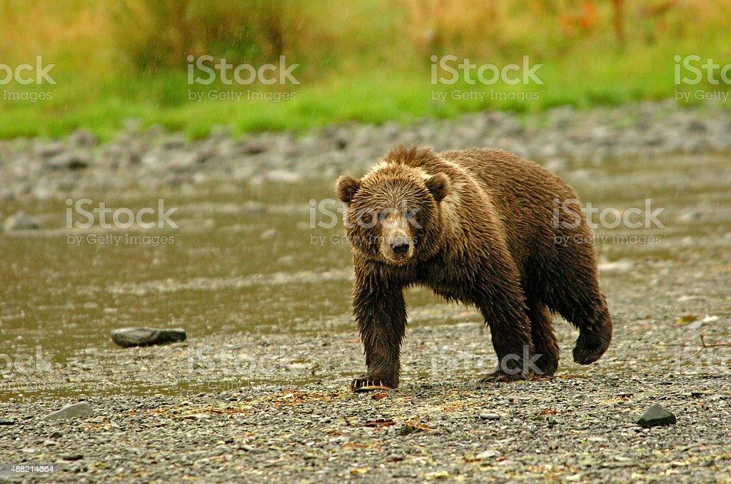Kodiak Bear Prowling In The Rain stock photo