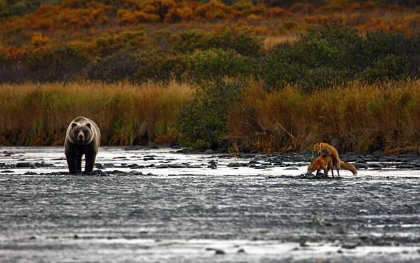 kodiak brown bear – Foto