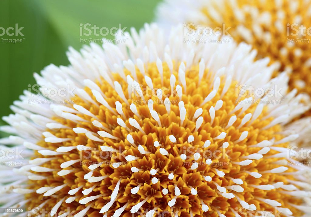 Kodom flower of Bangladesh stock photo