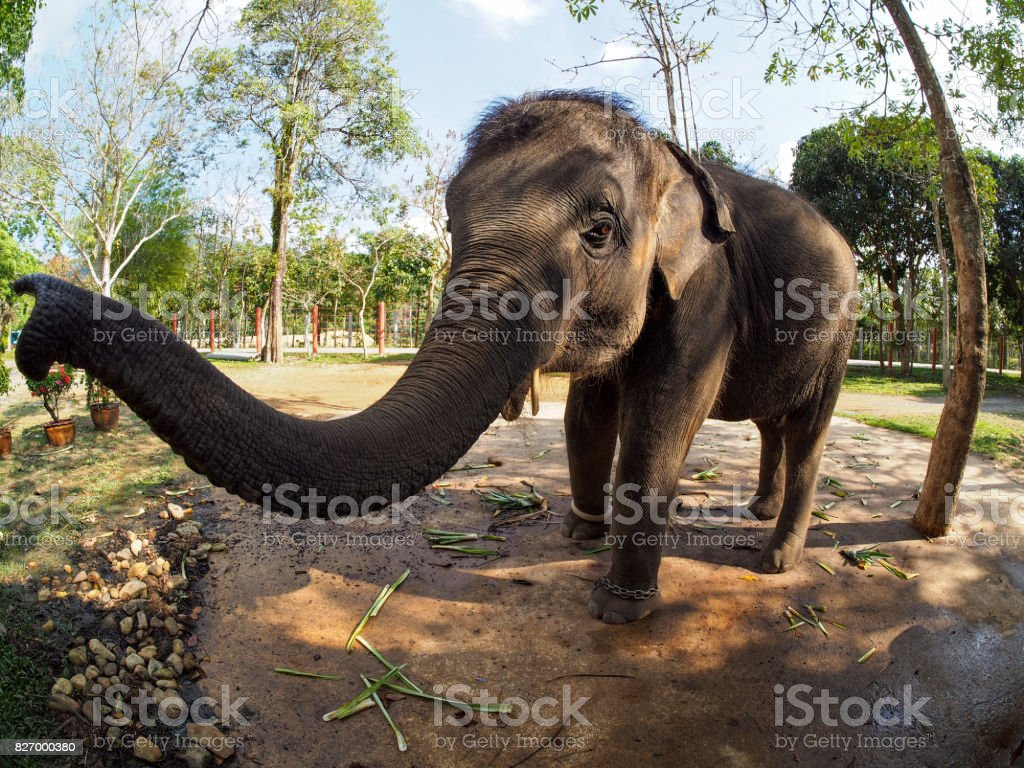 Koh Chang Elephant wide angle stock photo
