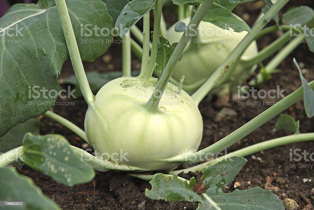 Kohlrabi (Turnip cabbage) royalty-free stock photo