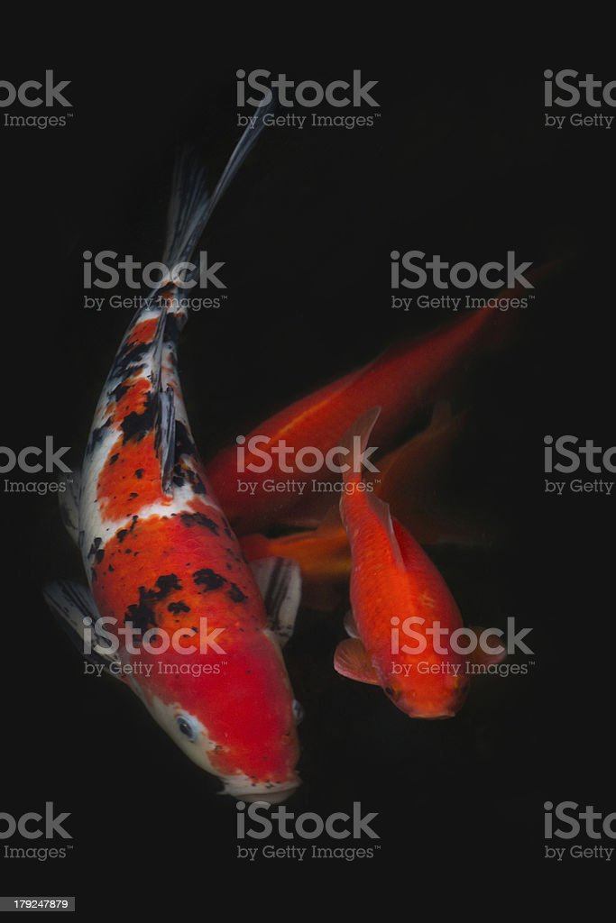 Koi and Gold Fish stock photo