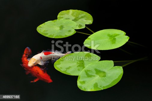 a composition of two beautiful Koi Carp swimming amongst fresh water lilies in a deeply shaded pond with almost black water (enhanced with a polariser to remove reflections). This is a combination of two images.