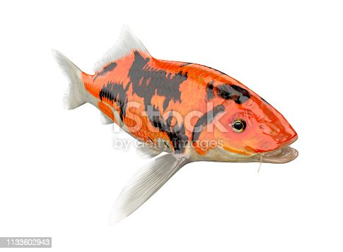 Koi carp fish on white background with clipping path, 3d illustration