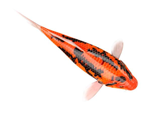 Koi-Karpfenfische auf weißem Hintergrund mit Clipping-Pfad – Foto
