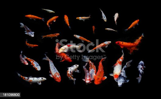 a collection of Koi Carp swimming in a shaded pond and exposed to ensure a black background. Several images have been taken and then arranged to create a nature-background composition.