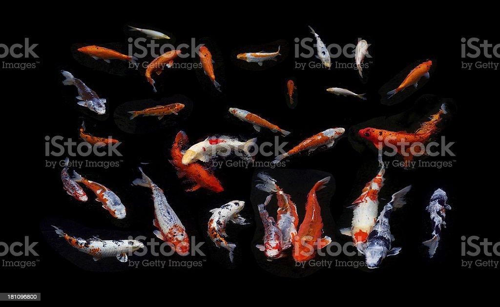 Koi Carp in a dark pond composition stock photo