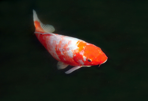 Koi carp isolated