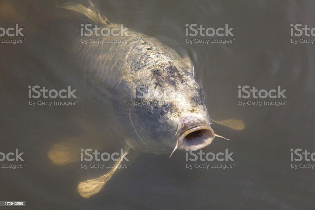 Koi carp. royalty-free stock photo