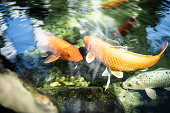 Koi carps in the lake