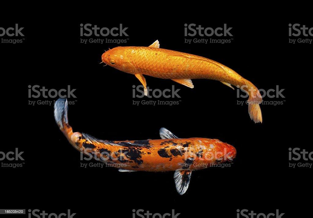 Koi Fancy carp stock photo