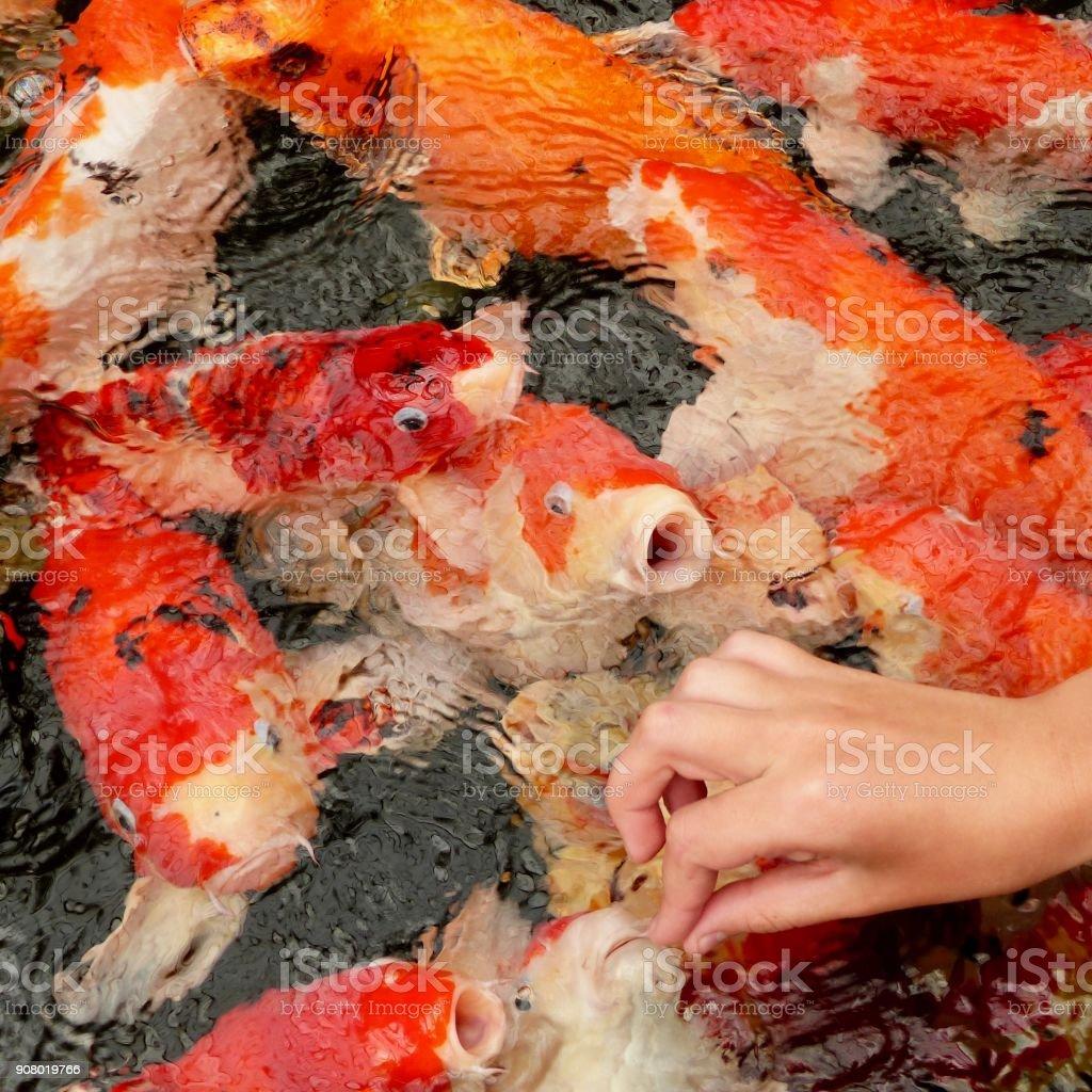 Koi feeding stock photo